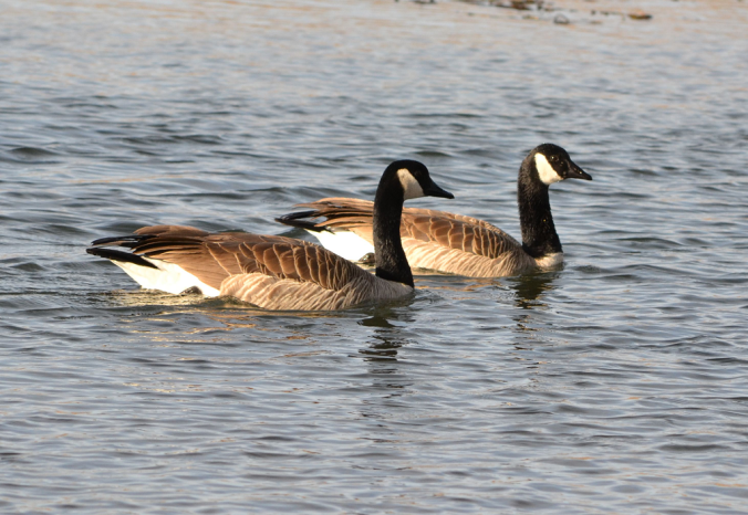 goose couple