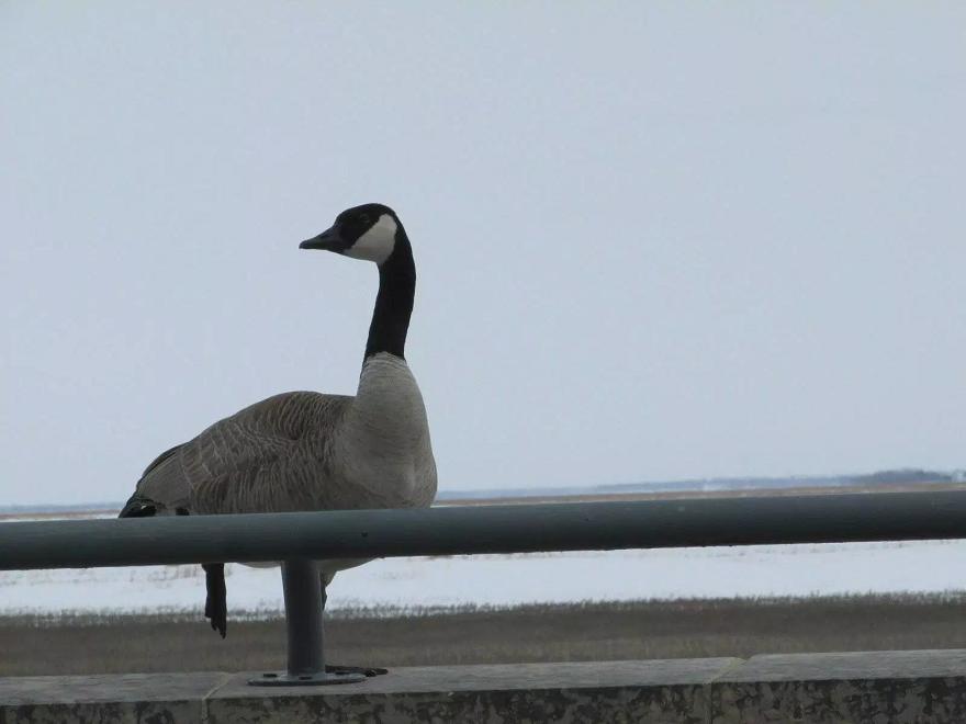 mrs goose